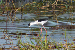 Black-winged stilt, Candaba