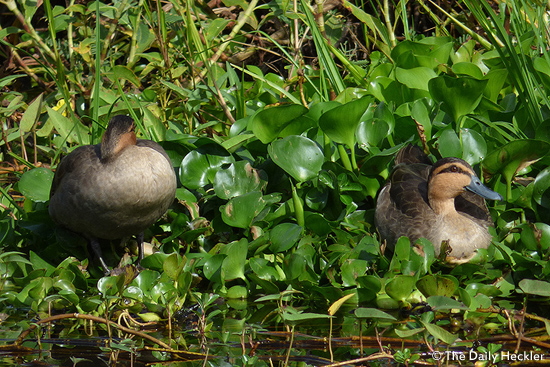 Philippine ducks, Candaba