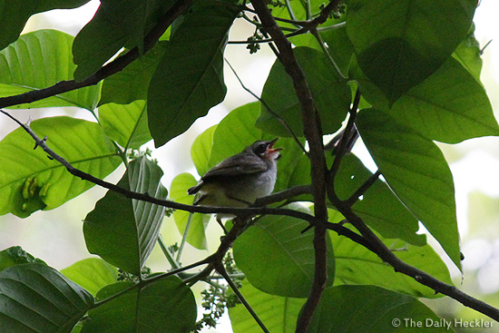A pregnant yellow-vented bulbul?