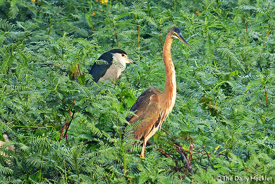 Night heron and purple heron, Candaba