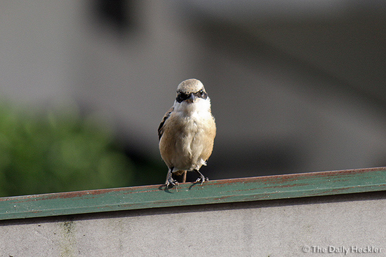 Brown shrike?