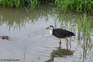 White-breasted waterhen, Candaba