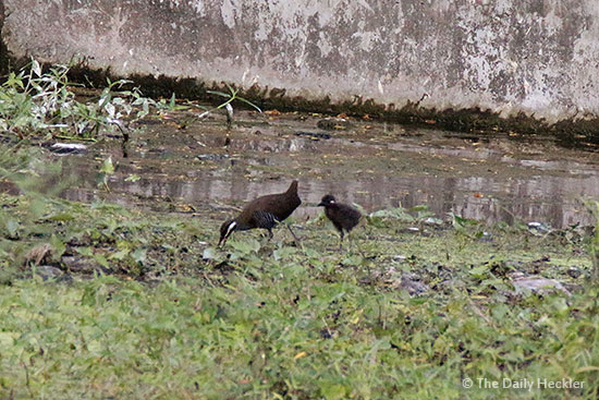 Barred rail and baby, La Mesa Ecopark, Quezon City