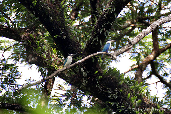 Collared kingfisher, La Mesa Ecopark, Quezon City