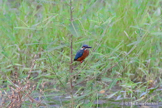 Common kingfisher, La Mesa Ecopark, Quezon City