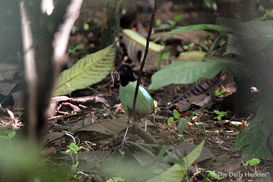 Hooded pitta,La Mesa Ecopark, Quezon City